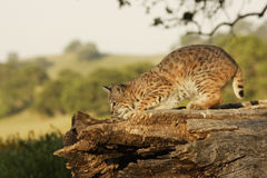 Bobcat on Log. Young bobcat lurking on large log with green hills as background Stock Photos