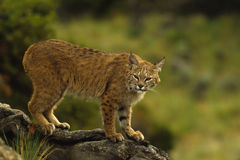Bobcat on Log. A pretty bobcat perched on a fallen log Royalty Free Stock Photos