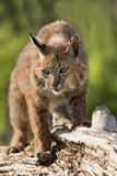 Bobcat on a Log Stock Image