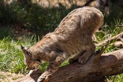 Bobcat on a Log. A bobcat perched on a fallen log in the forest Stock Photography