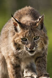 Bobcat Looking an der Kamera Stockbilder