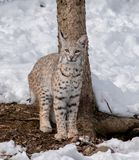 A bobcat looking directly at me while sitting near a tree. A bobcat looking directly at me while sitting in front of a tree in the snow during Winter royalty free stock images