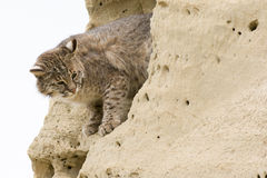 Bobcat looking down from shelter Stock Photography