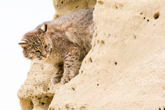 Bobcat looking out of cliff opening Royalty Free Stock Photo