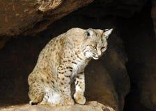 Bobcat Looking Out da caverna fotografia de stock royalty free