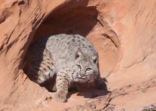 Bobcat looking out from a small sandstone cave royalty free stock photos