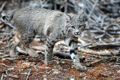 Bobcat looks into camera (Lynx rufus), California, Yosemite Nati Stock Images
