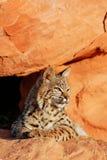 Bobcat lying on red rocks. Bobcat Lynx rufus lying on red rocks Stock Photo