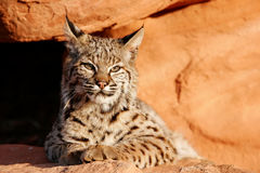 Bobcat lying on red rocks Stock Image