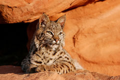 Bobcat lying on red rocks Royalty Free Stock Photography