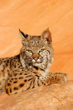 Bobcat lying on red rocks Royalty Free Stock Images