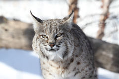 Bobcat (Lynx rufus). Hunting in snow in winter Stock Photography