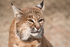 Bobcat - (lynx rufus). Close-up portrait of a Bobcat Royalty Free Stock Image