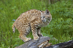 Bobcat Lynx rufus. The young bobcat uses the log for resting and observation in the mountains Stock Photo
