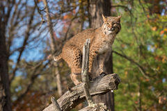 Bobcat (Lynx rufus) Balances on Branch Stock Images