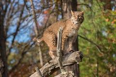 Bobcat (Lynx rufus) Balances on Branch Stock Images