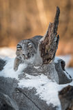 Bobcat Lynx rufus Bats Around Log Spur Stock Photography