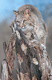 Bobcat (Lynx rufus) Blends in on Snowy Stump. Captive animal Royalty Free Stock Image