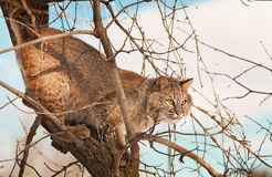 Bobcat (Lynx rufus) Blends in Within Tree Branches. Captive animal Royalty Free Stock Photography