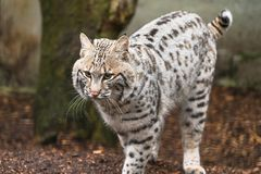 Bobcat Lynx rufus. A North American predator that inhabits wooded areas Stock Photo