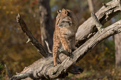 Bobcat (Lynx rufus) in Branches Stock Images