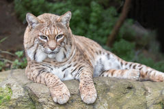 Bobcat Lynx rufus californicus resting on a rock and posing. Royalty Free Stock Photography