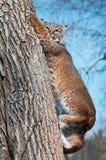 Bobcat (Lynx rufus) Climbs Down Tree. Captive animal Royalty Free Stock Photos