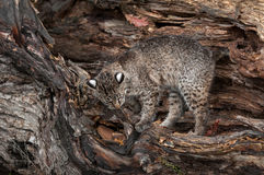 Bobcat (Lynx rufus) Climbs About in Log. Captive animal Royalty Free Stock Images