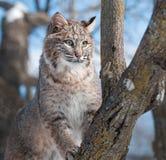 Bobcat (Lynx rufus) Climbs Tree. Captive animal Royalty Free Stock Photo