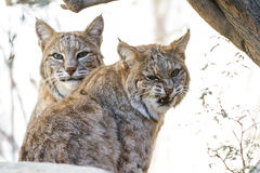 Bobcat - Lynx rufus. Close up of two wild bobcats in bright desert sunshine staring at the camera Stock Photo