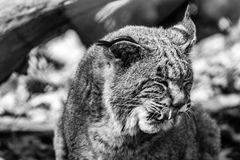 Bobcat Lynx rufus closeup licks face, black and white. Funny Bobcat Lynx rufus in the forest licks face, black and white Stock Image