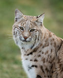Bobcat. (Lynx rufus) closeup portrait against green background Stock Image