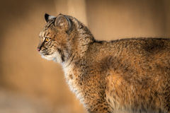 Bobcat Lynx rufus Closeup Profile. Captive animal Stock Photos