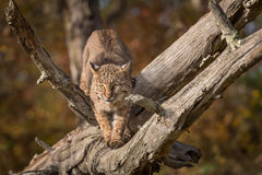 Bobcat Lynx rufus Crouches on Branch. Captive animal Royalty Free Stock Images