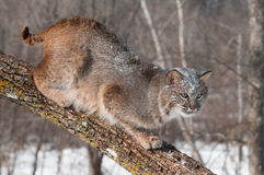 Bobcat (Lynx rufus) Crouches on Branch Looking Right Royalty Free Stock Photos