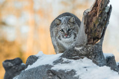 Bobcat Lynx rufus Crouches to Pounce. Captive animal Stock Photo