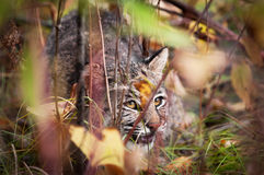 Bobcat (Lynx rufus) Displaying Stalking Behavior. Captive animal, extremely tight depth of field Stock Photography