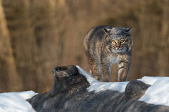 Bobcat Lynx rufus Ears to Side Walks Across Log. Captive animal Royalty Free Stock Image