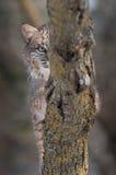 Bobcat (Lynx rufus) Eye Behind Branch. Captive animal Stock Photo