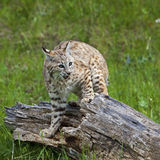Bobcat Lynx rufus fighting. This young feline bob cat threatens, hisses and fights the intruder Stock Photography