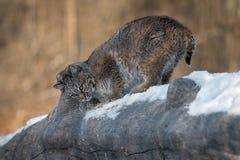 Bobcat Lynx-rufus Geruch-Markierungs-Klotz stockbilder