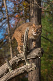 Bobcat (Lynx rufus) Glares Out From Branch Royalty Free Stock Images