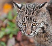 Bobcat (Lynx rufus) Head. Captive animal Royalty Free Stock Photo