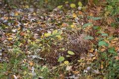 Bobcat Lynx rufus Hides in Autumn Grasses royalty free stock photo