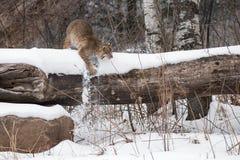 Bobcat Lynx rufus Knocks Snow Off Log Royalty Free Stock Photos