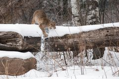 Bobcat Lynx rufus Knocks Snow Off Log. Captive animal Royalty Free Stock Photos