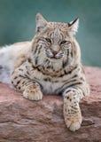 Bobcat. (Lynx rufus) laying on rocks Royalty Free Stock Photography