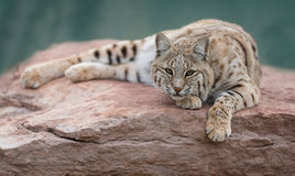 Bobcat. (Lynx rufus) laying on rocky slab Stock Images