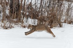 Bobcat Lynx rufus Leaps Left. Captive animal Stock Image