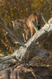 Bobcat (Lynx rufus) Looks Back Stock Images